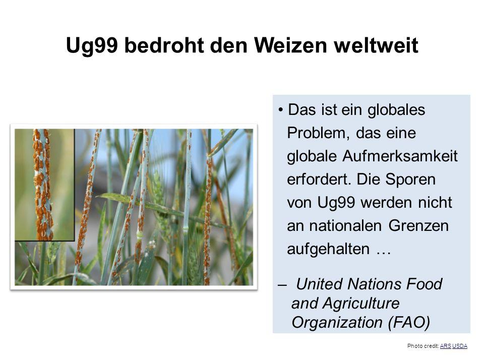 Ug99 bedroht den Weizen weltweit