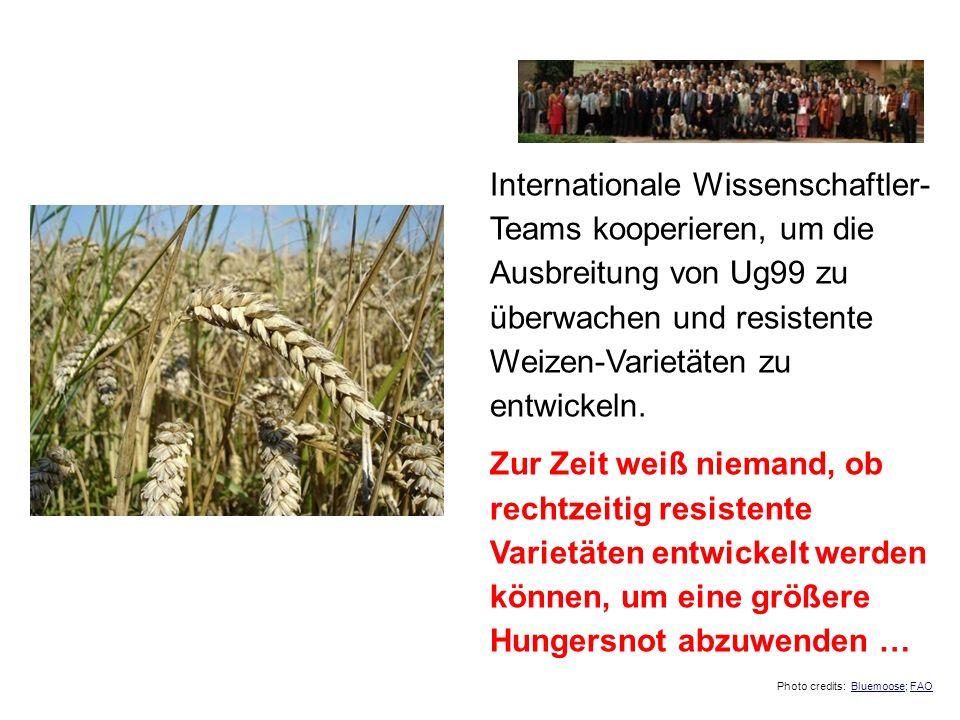 Internationale Wissenschaftler-Teams kooperieren, um die Ausbreitung von Ug99 zu überwachen und resistente Weizen-Varietäten zu entwickeln.
