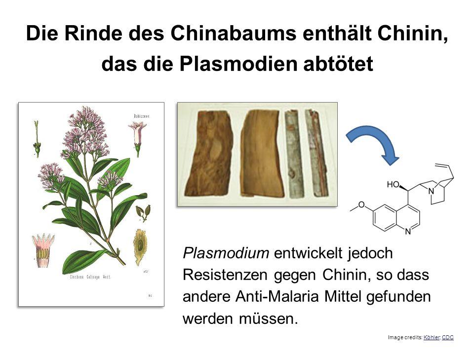 Die Rinde des Chinabaums enthält Chinin, das die Plasmodien abtötet