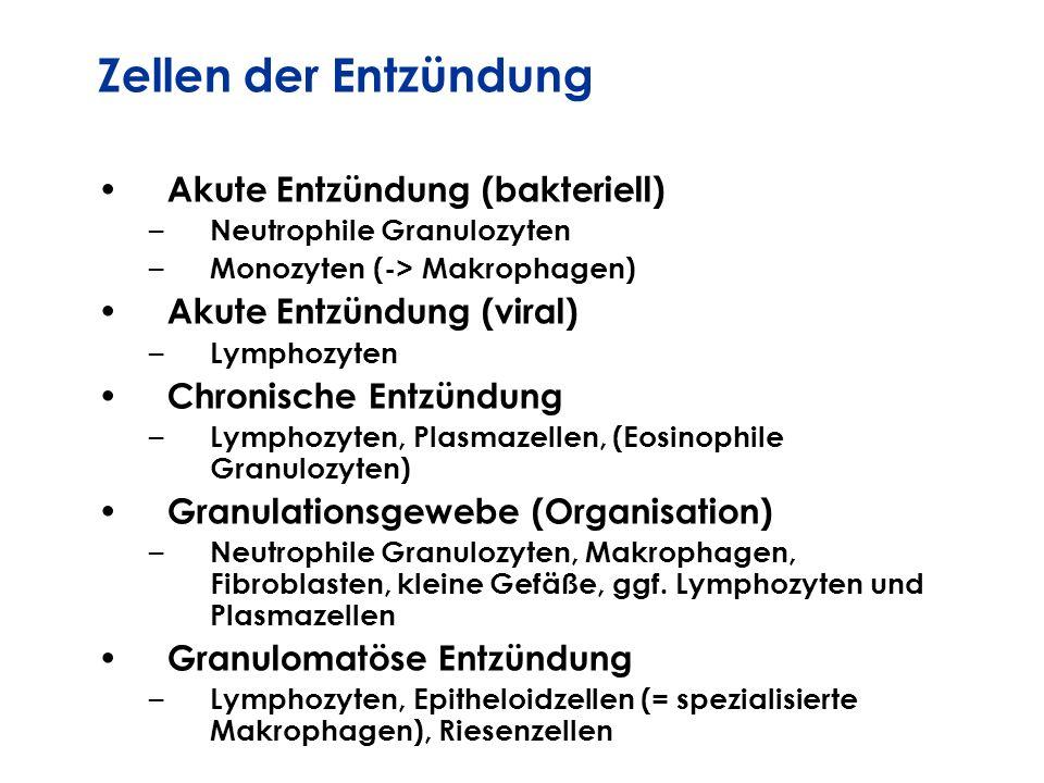 Zellen der Entzündung Akute Entzündung (bakteriell)