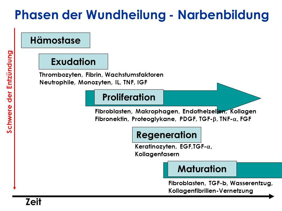 Phasen der Wundheilung - Narbenbildung
