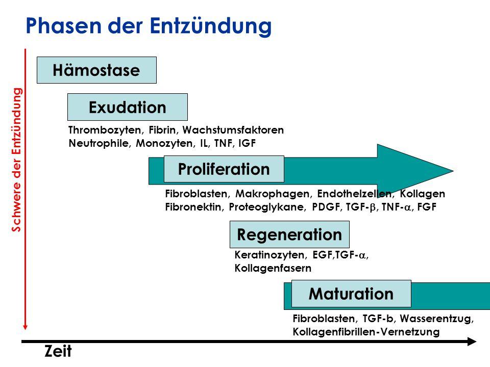 Phasen der Entzündung Hämostase Exudation Proliferation Regeneration