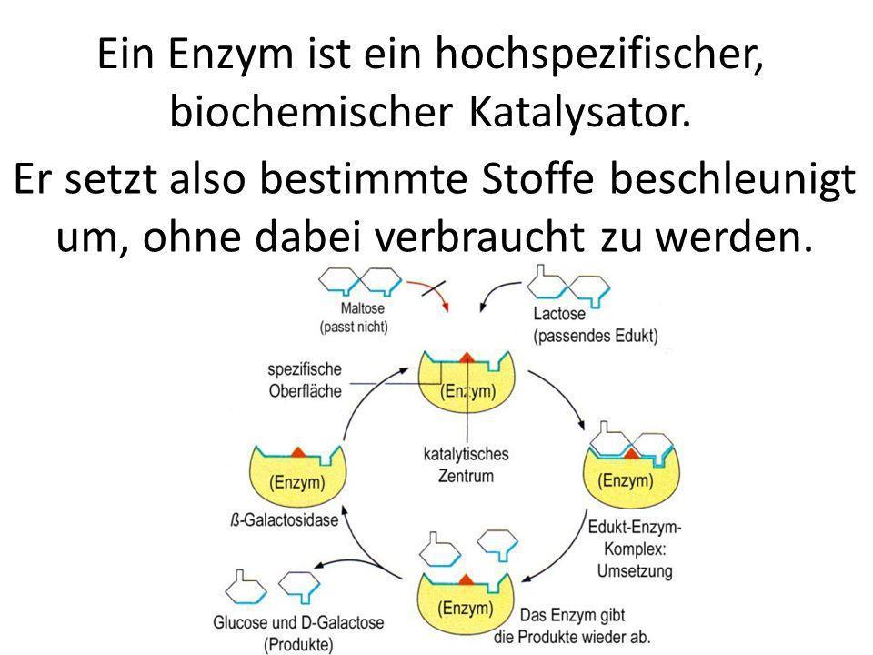 Ein Enzym ist ein hochspezifischer, biochemischer Katalysator.