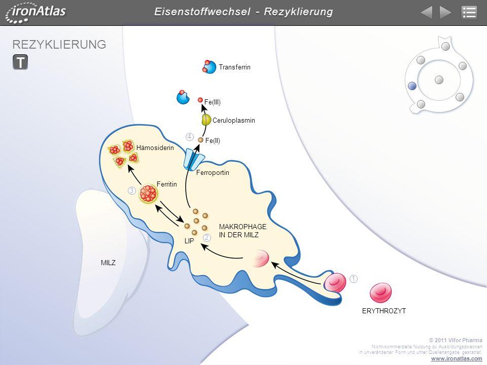 Eisenstoffwechsel - Rezyklierung