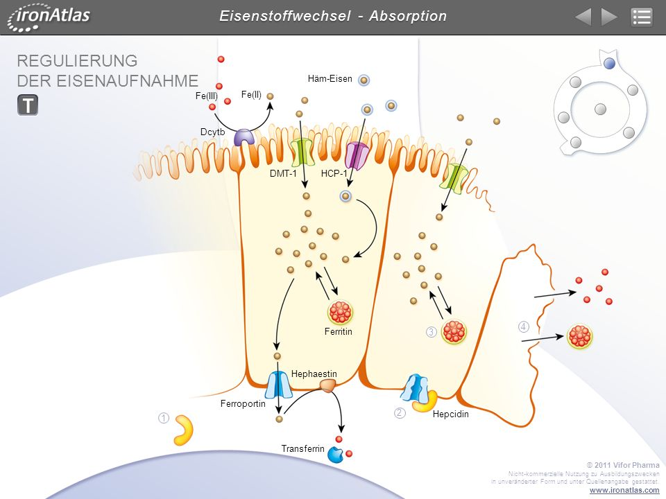 Eisenstoffwechsel - Absorption
