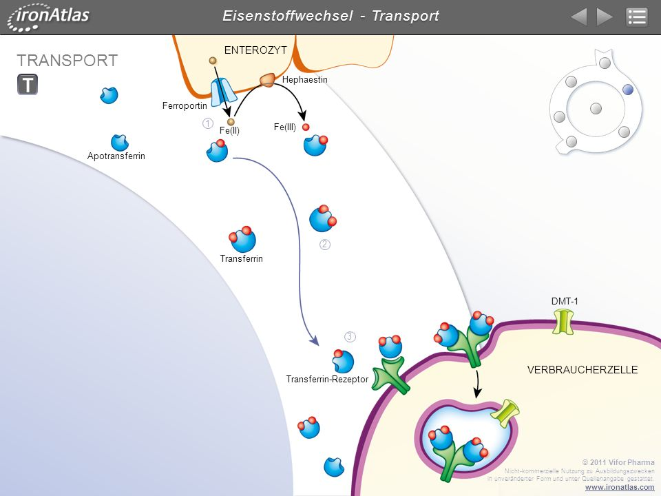 Eisenstoffwechsel - Transport
