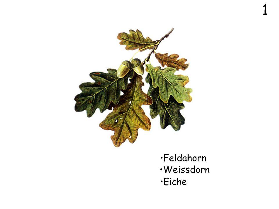 1 Feldahorn Weissdorn Eiche