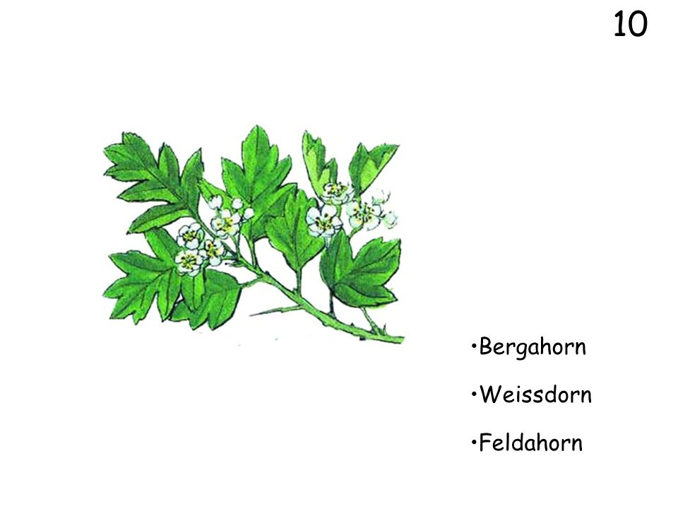 10 Bergahorn Weissdorn Feldahorn