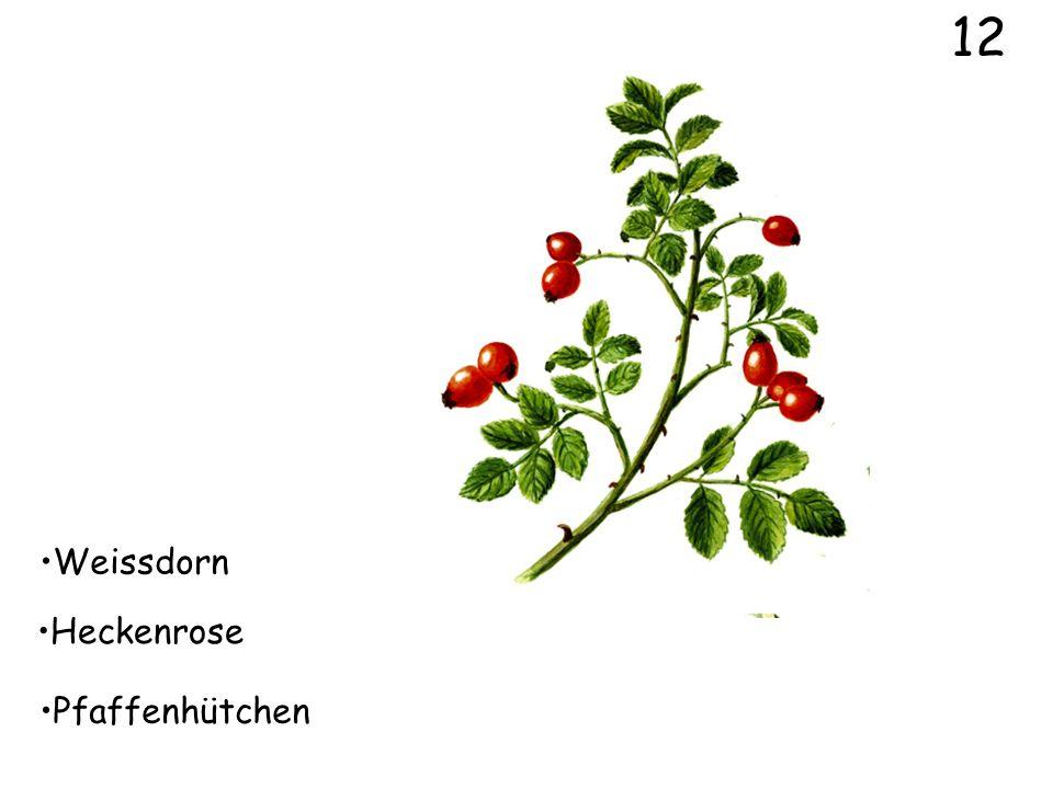 12 Weissdorn Heckenrose Pfaffenhütchen