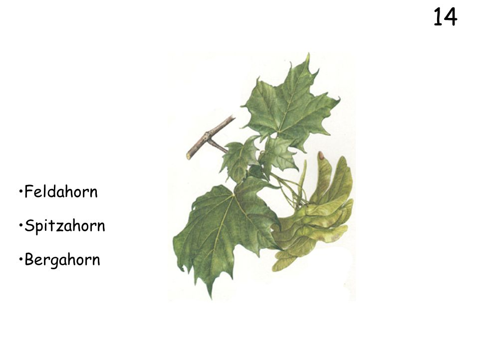 14 Feldahorn Spitzahorn Bergahorn