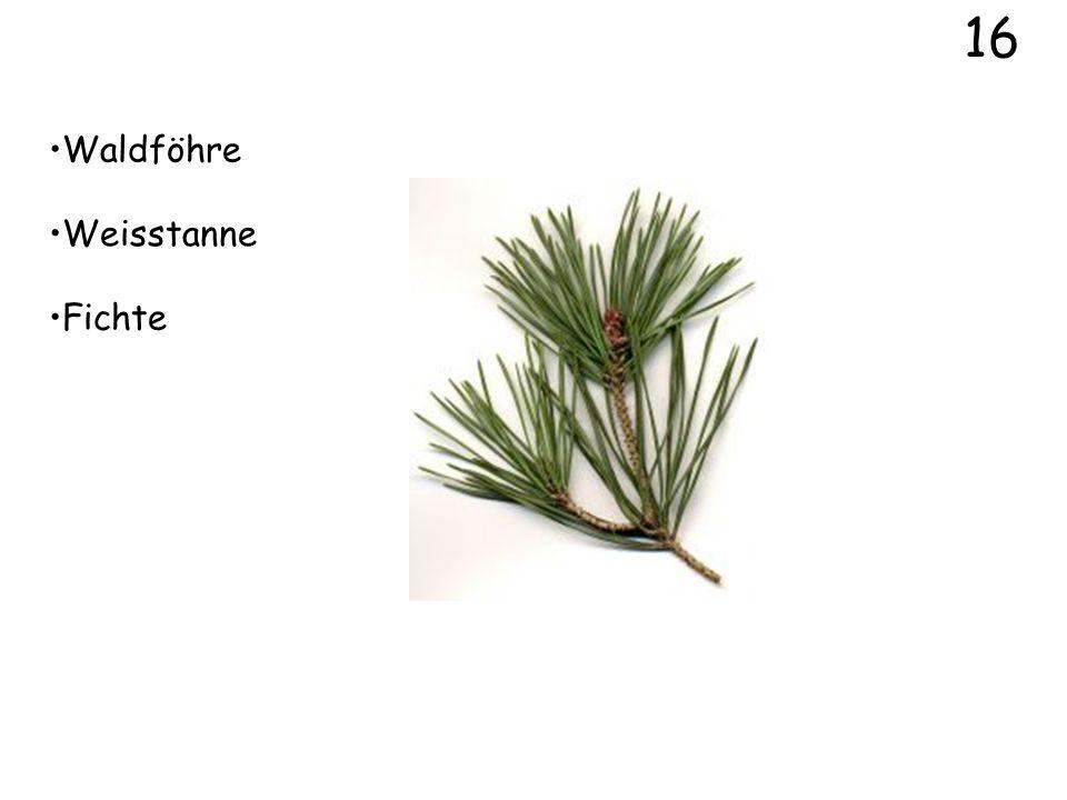 16 Waldföhre Weisstanne Fichte