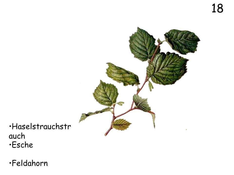 18 Haselstrauchstrauch Esche Feldahorn