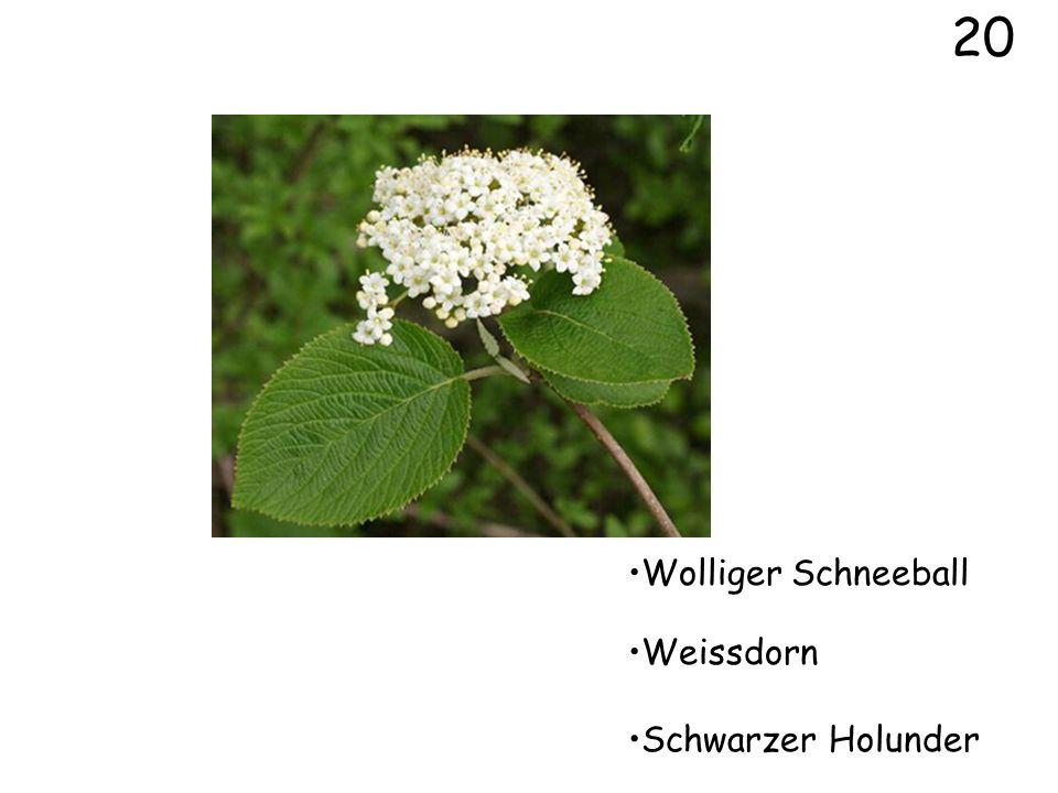 20 Wolliger Schneeball Weissdorn Schwarzer Holunder