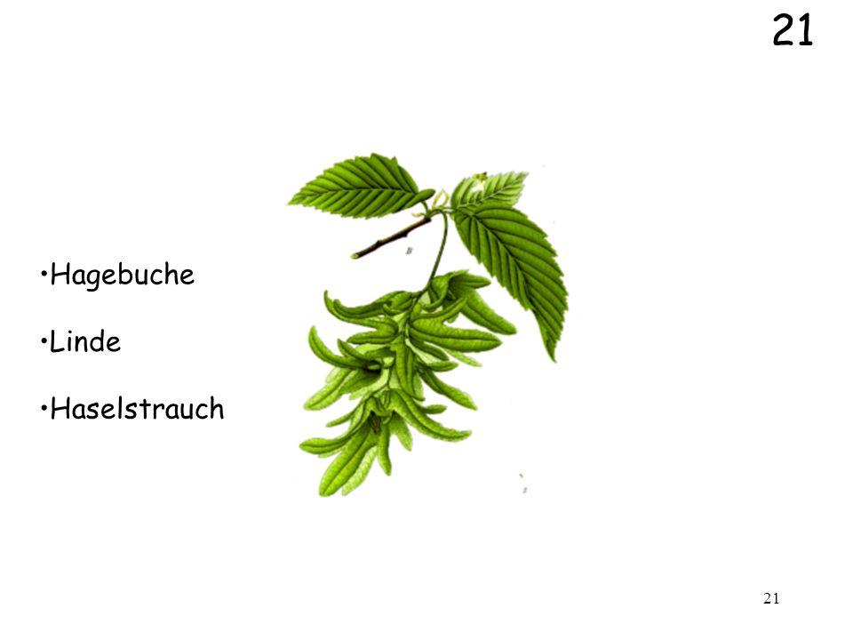 21 Hagebuche Linde Haselstrauch
