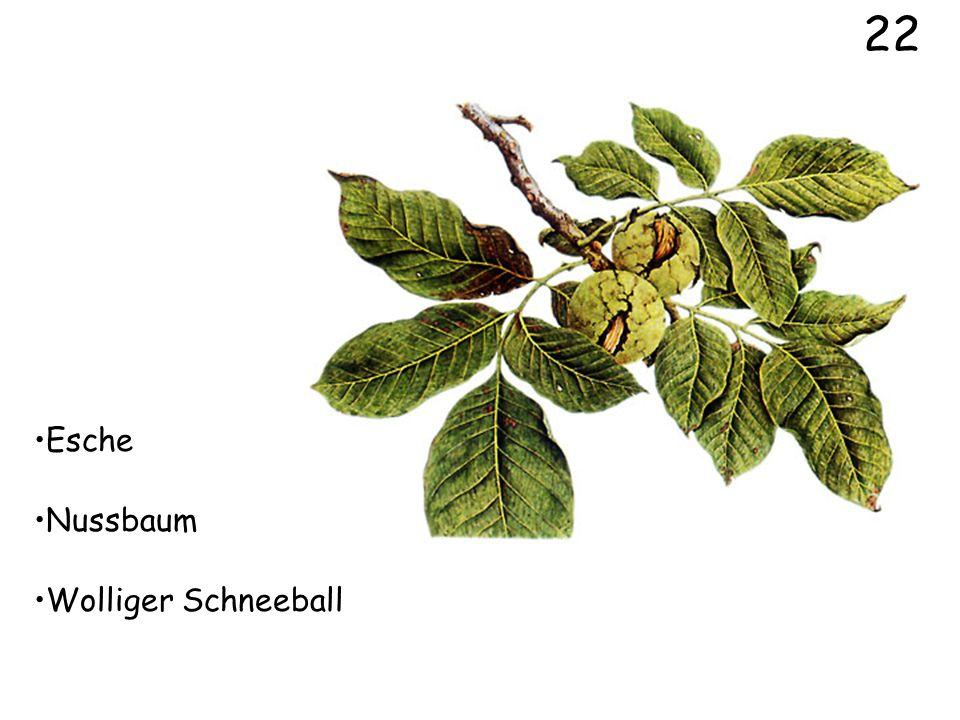 22 Esche Nussbaum Wolliger Schneeball