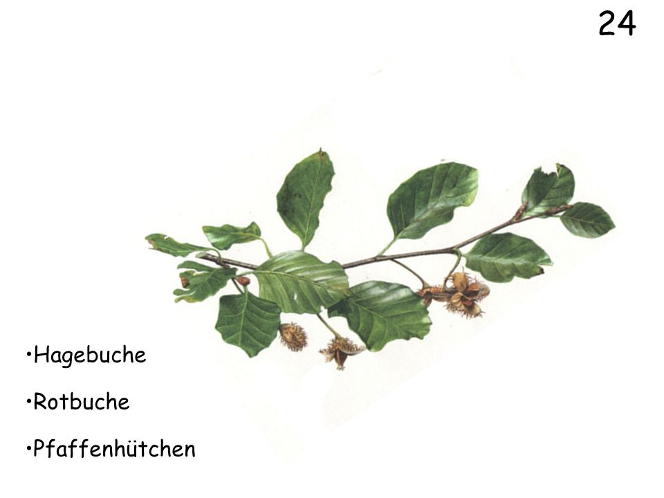 24 Hagebuche Rotbuche Pfaffenhütchen