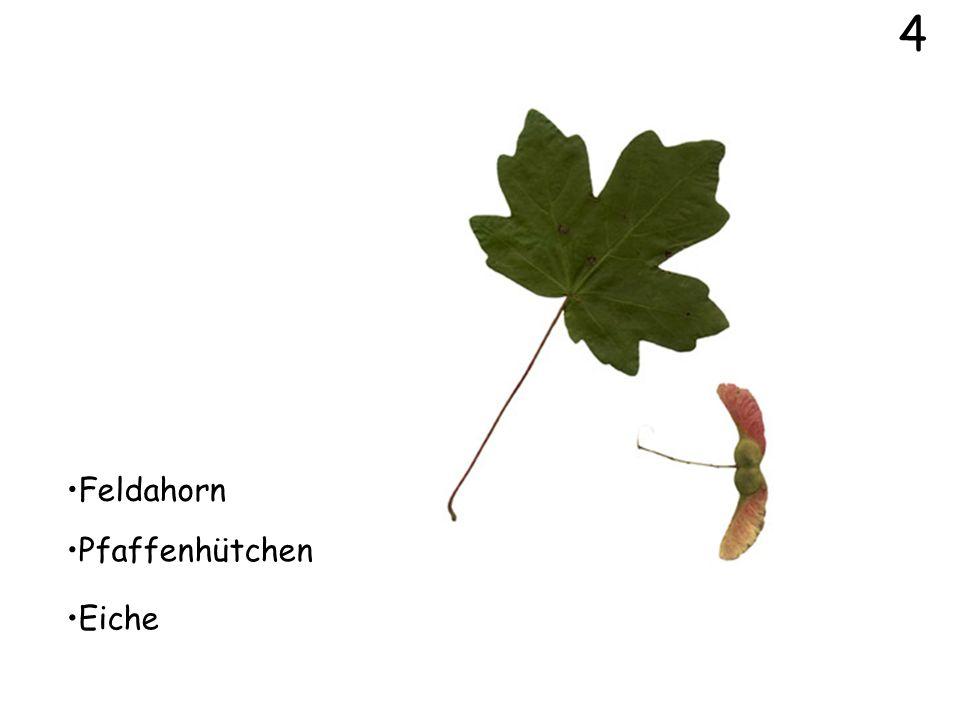 4 Feldahorn Pfaffenhütchen Eiche