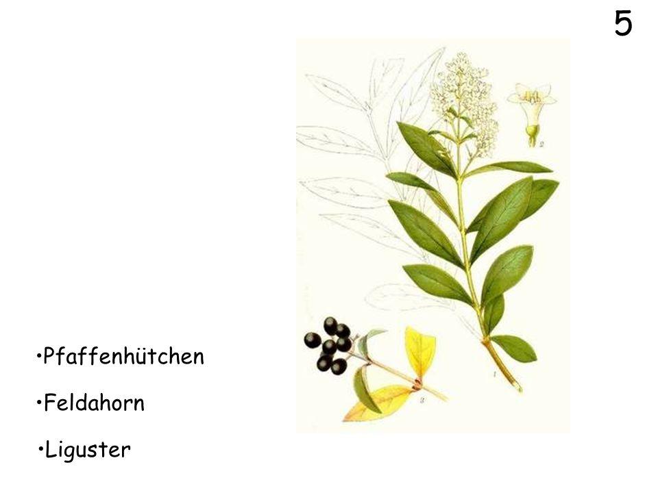 5 Pfaffenhütchen Feldahorn Liguster