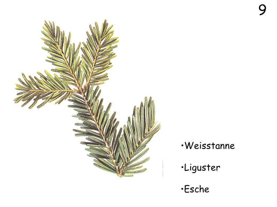 9 Weisstanne Liguster Esche