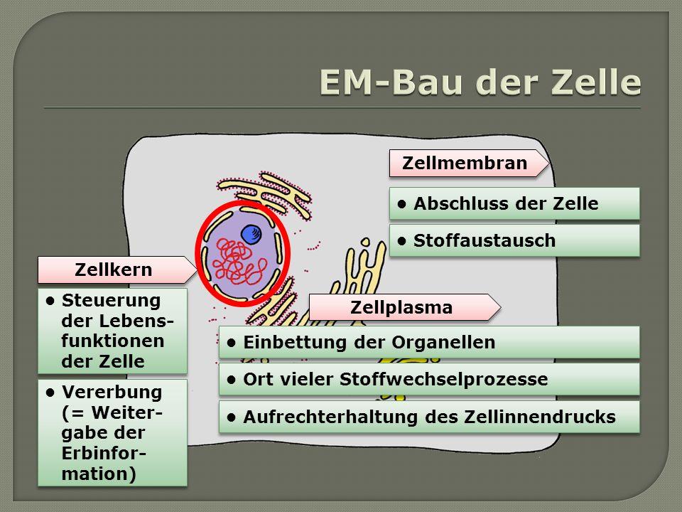 EM-Bau der Zelle Zellmembran • Abschluss der Zelle • Stoffaustausch