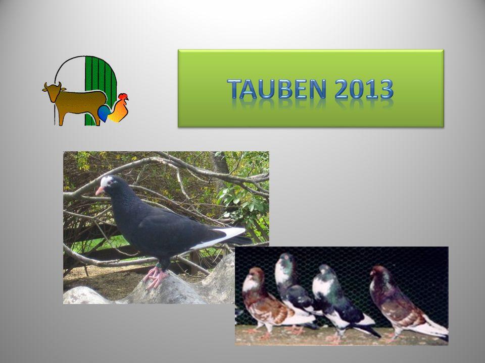 Tauben 2013 11