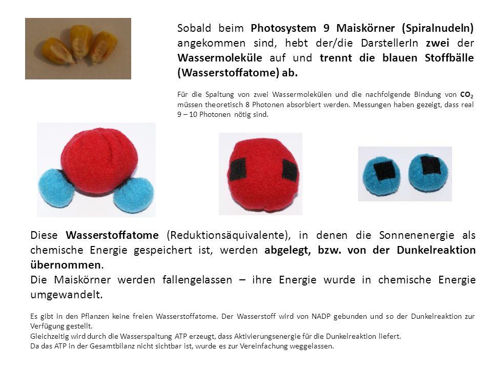 Sobald beim Photosystem 9 Maiskörner (Spiralnudeln) angekommen sind, hebt der/die DarstellerIn zwei der Wassermoleküle auf und trennt die blauen Stoffbälle (Wasserstoffatome) ab.