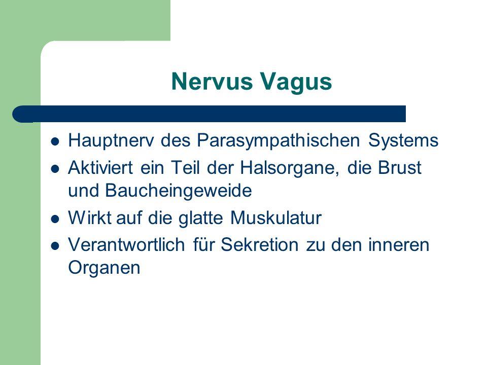 Nervus Vagus Hauptnerv des Parasympathischen Systems