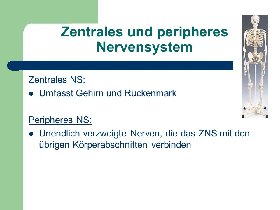 Zentrales und peripheres Nervensystem