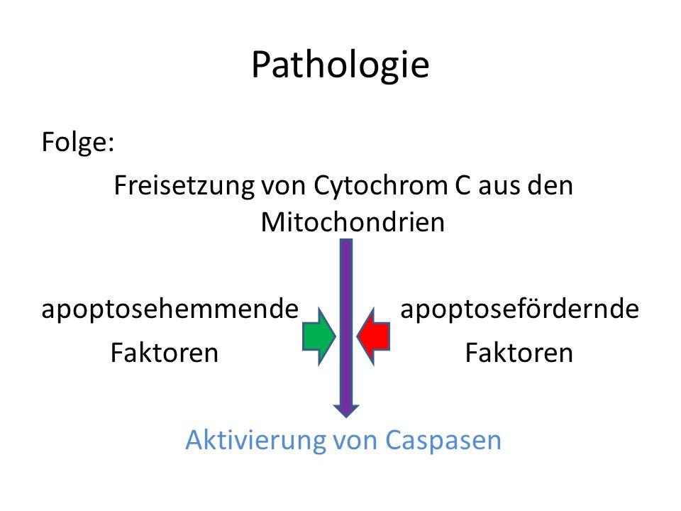 PathologieFolge: Freisetzung von Cytochrom C aus den Mitochondrien apoptosehemmende apoptosefördernde Faktoren Faktoren Aktivierung von Caspasen