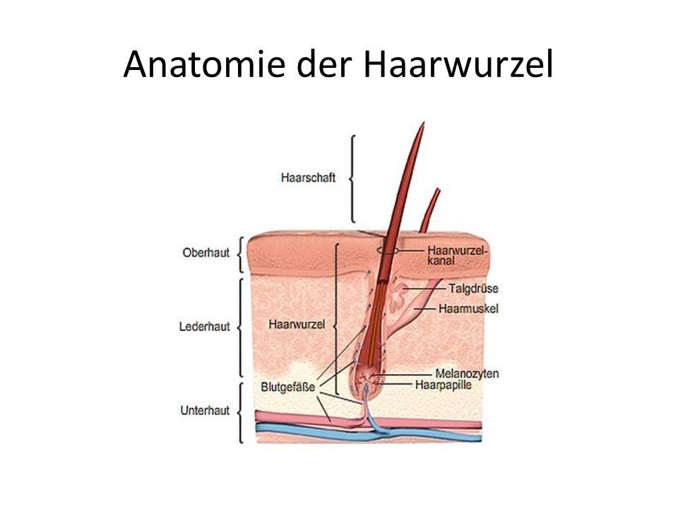 Anatomie der Haarwurzel
