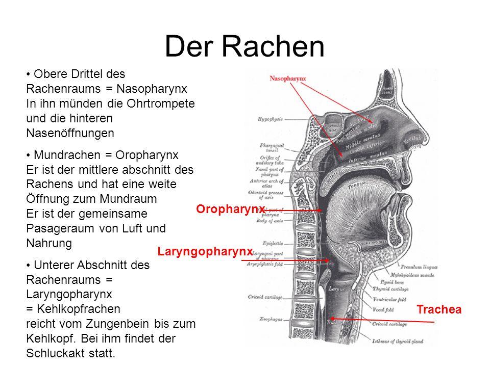 Der Rachen Obere Drittel des Rachenraums = Nasopharynx In ihn münden die Ohrtrompete und die hinteren Nasenöffnungen.