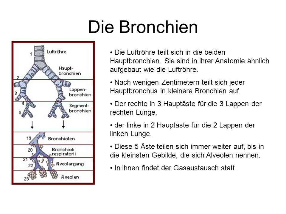 Die Bronchien Die Luftröhre teilt sich in die beiden Hauptbronchien. Sie sind in ihrer Anatomie ähnlich aufgebaut wie die Luftröhre.