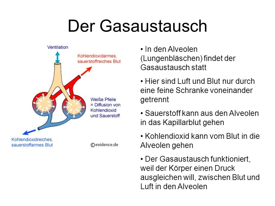 Der Gasaustausch In den Alveolen (Lungenbläschen) findet der Gasaustausch statt.