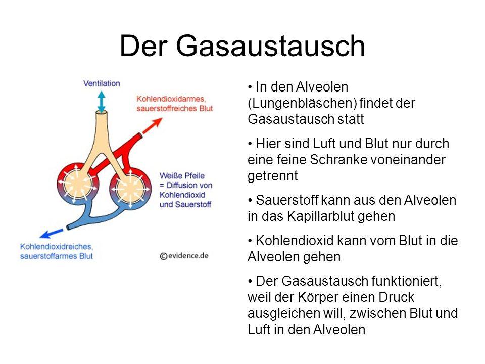 Der GasaustauschIn den Alveolen (Lungenbläschen) findet der Gasaustausch statt.