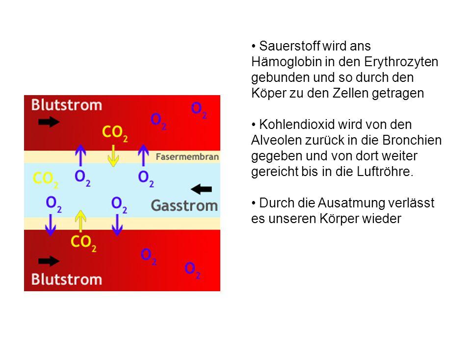 Sauerstoff wird ans Hämoglobin in den Erythrozyten gebunden und so durch den Köper zu den Zellen getragen