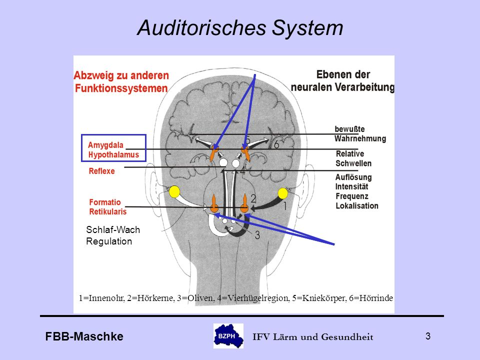 Auditorisches System Schlaf-Wach Regulation