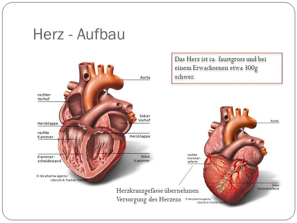 Herz - Aufbau Das Herz ist ca. faustgross und bei einem Erwachsenen etwa 300g schwer.