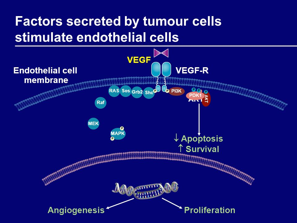 Factors secreted by tumour cells stimulate endothelial cells