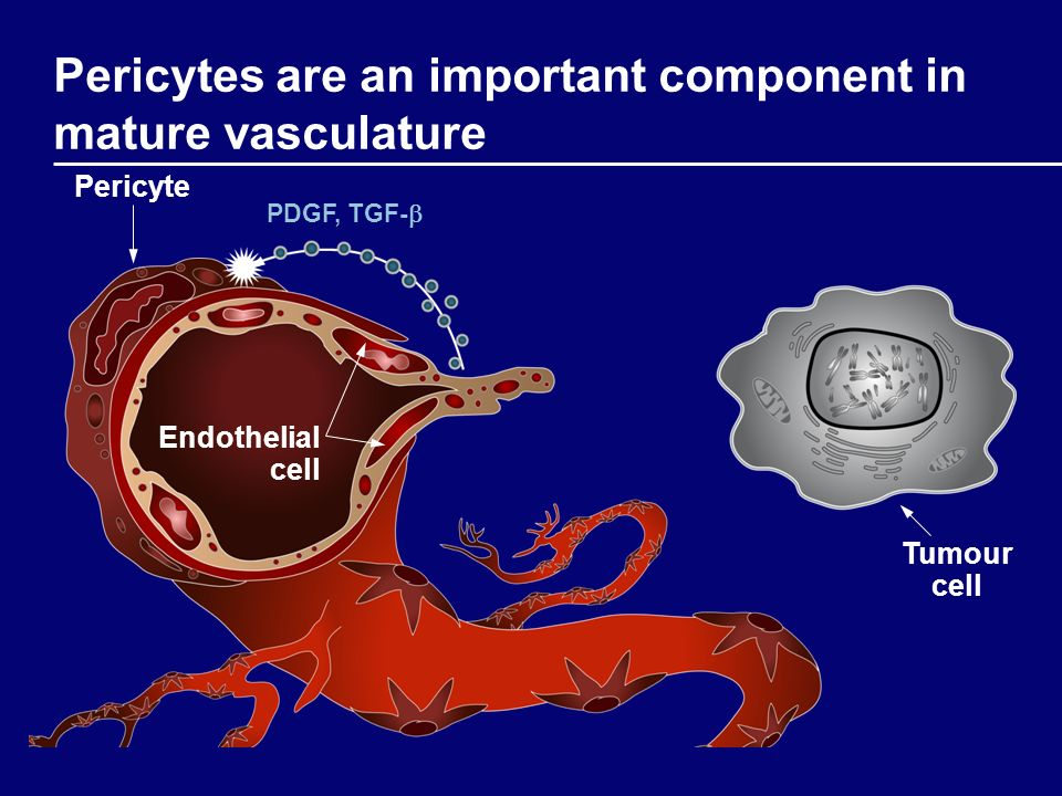 Pericytes are an important component in mature vasculature