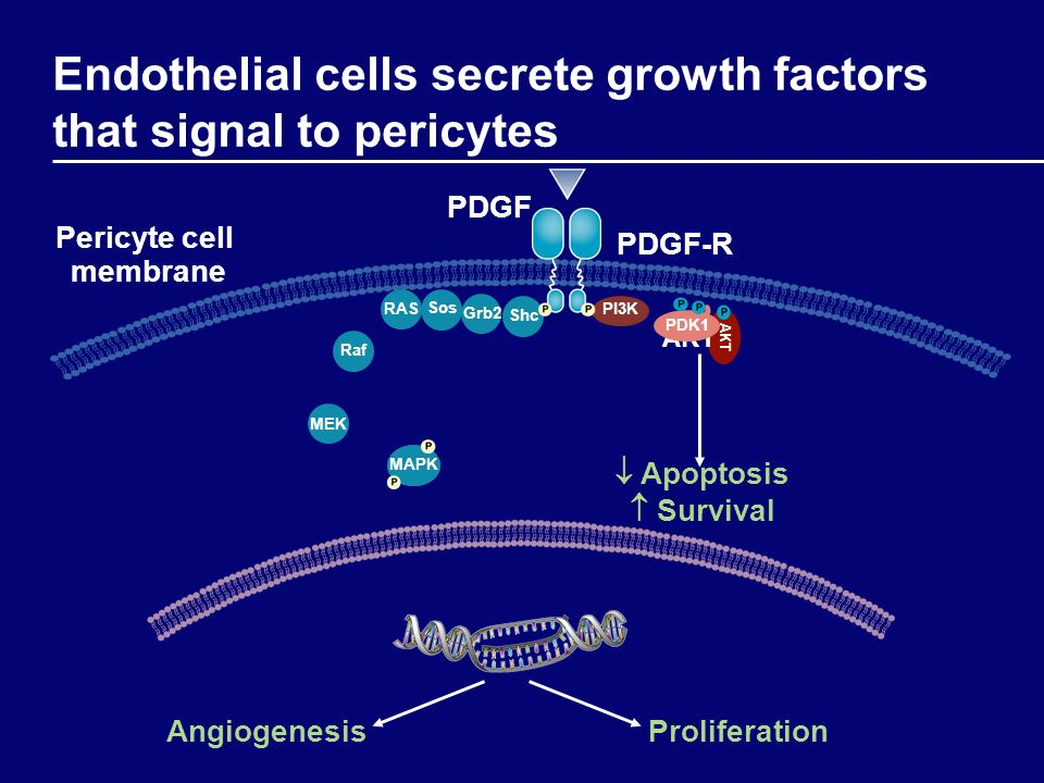Endothelial cells secrete growth factors that signal to pericytes