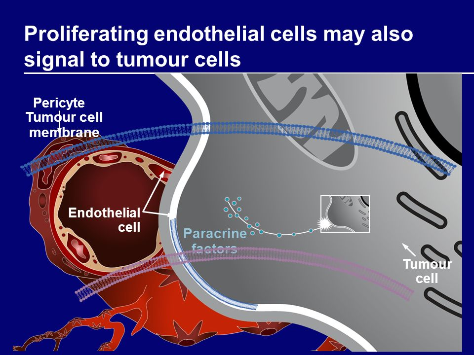 Proliferating endothelial cells may also signal to tumour cells