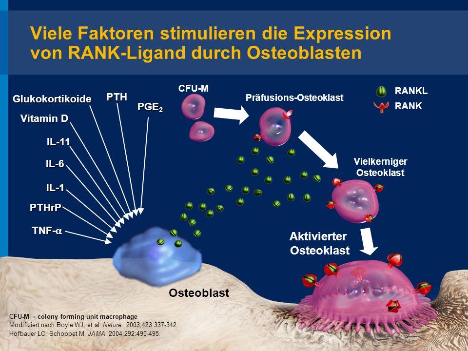 Präfusions-Osteoklast Vielkerniger Osteoklast Aktivierter Osteoklast