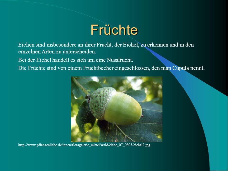 Früchte Eichen sind insbesondere an ihrer Frucht, der Eichel, zu erkennen und in den einzelnen Arten zu unterscheiden.