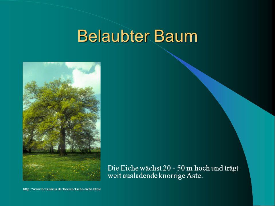 Belaubter Baum Die Eiche wächst 20 - 50 m hoch und trägt weit ausladende knorrige Äste.