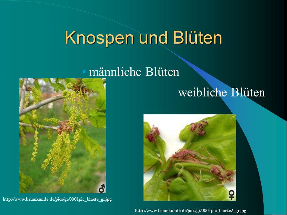 Knospen und Blüten männliche Blüten weibliche Blüten