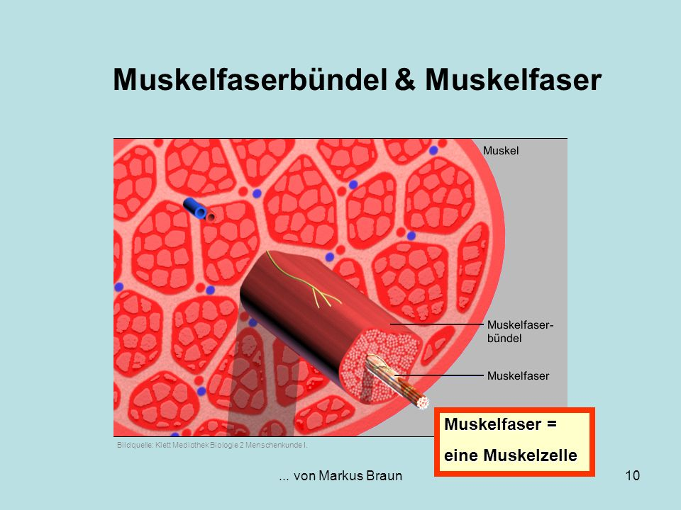 Muskelfaserbündel & Muskelfaser