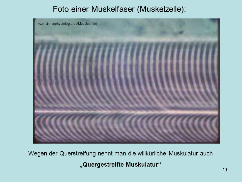 Foto einer Muskelfaser (Muskelzelle):
