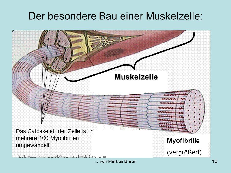 Der besondere Bau einer Muskelzelle: