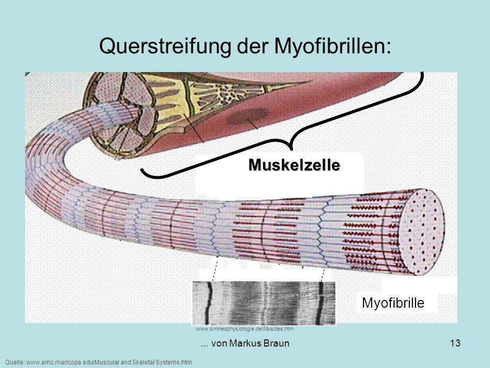 Querstreifung der Myofibrillen: