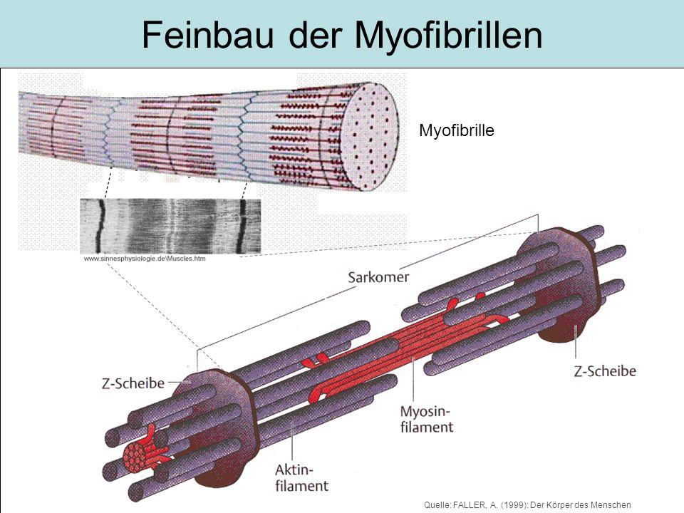 Feinbau der Myofibrillen